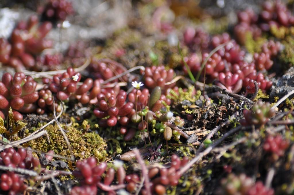 Roter Mauerpfeffer aulheimer tal wildblumen rheinhessen de